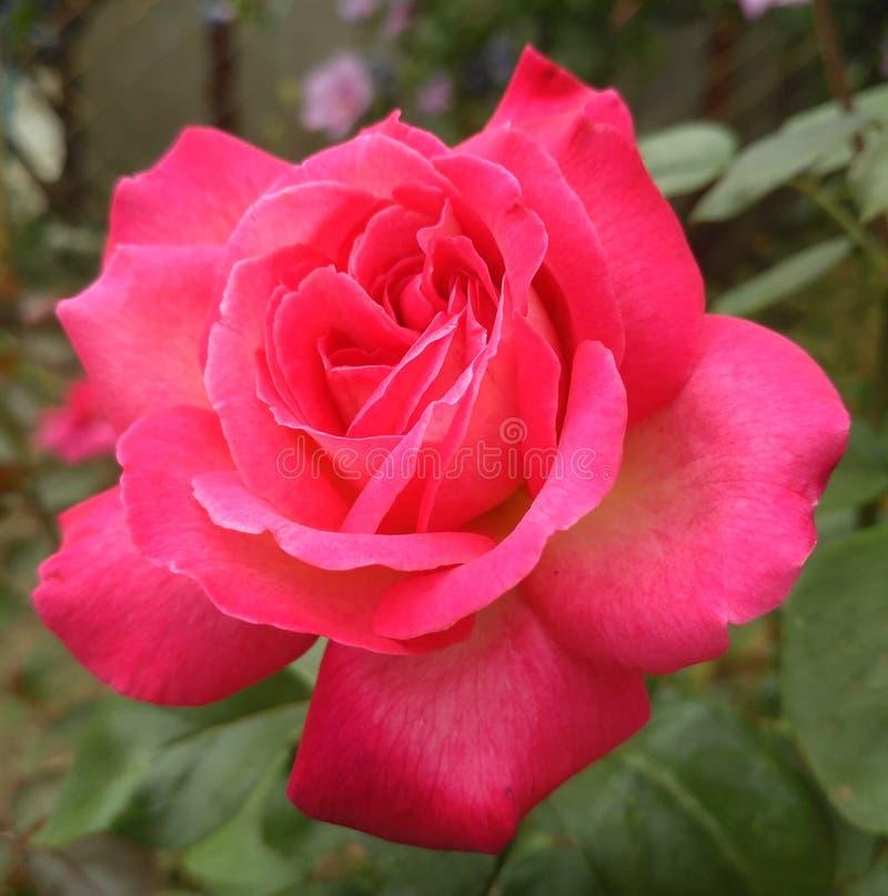 Rose de rose comme symbole de l'amour photographie stock