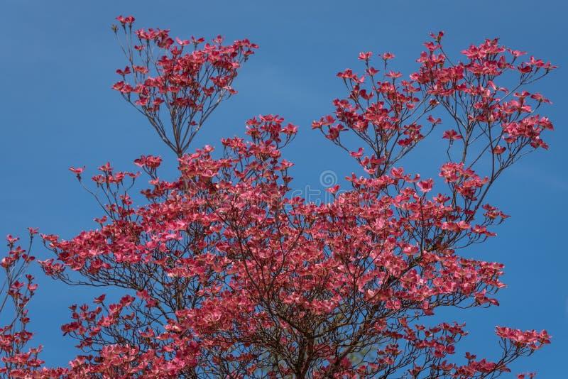 Rose de corail des fleurs de floraison de cornouiller de ressort sur l'arbre de cornouiller contre un ciel bleu clair, comme fond photo stock
