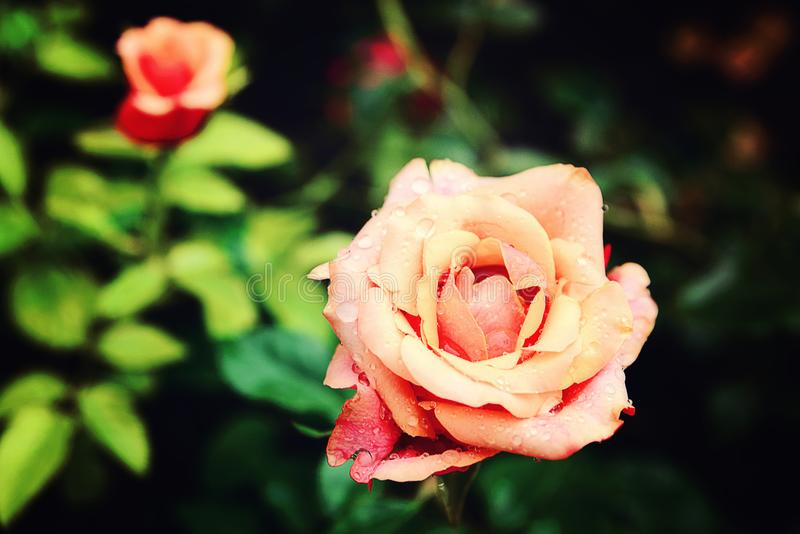 Rose de couleur riche image stock