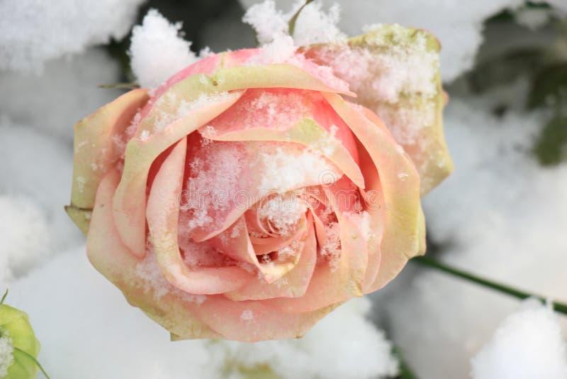 Rose de rose dans la neige photographie stock libre de droits