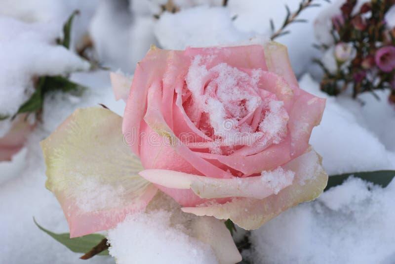 Rose de rose dans la neige images libres de droits