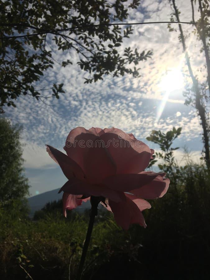 Rose de Rose dans le ciel images libres de droits