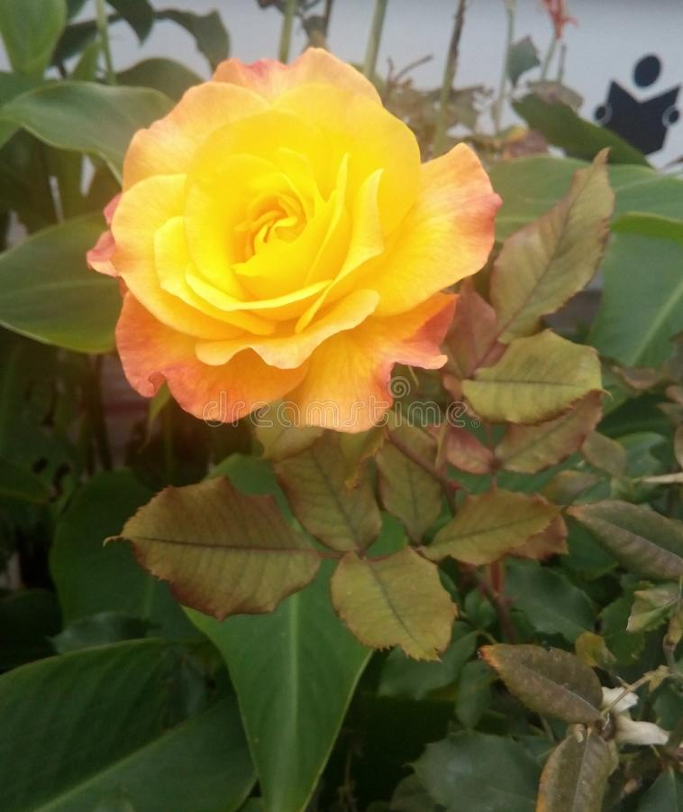 Rose de deux couleurs image stock