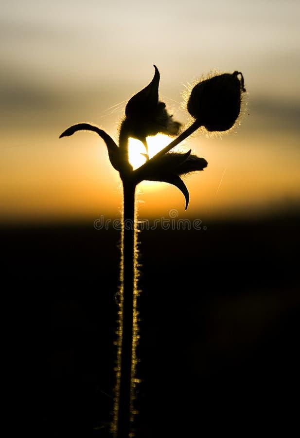 Rose de durée photographie stock libre de droits