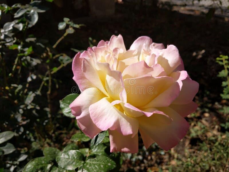 Rose de rose et de jaune photographie stock libre de droits
