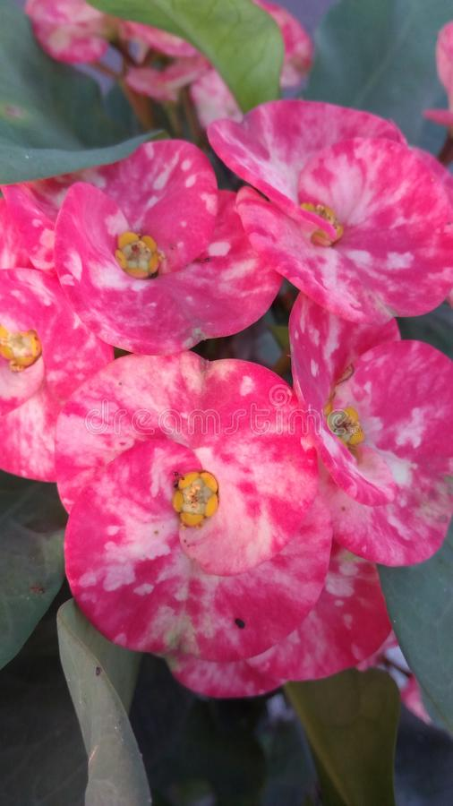 Rose de fleur image stock