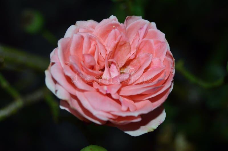 Rose de fleur photo stock