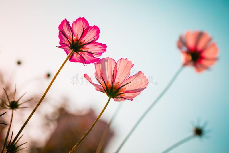 Rose de fleur de Cav de bipinnata de cosmos photos stock
