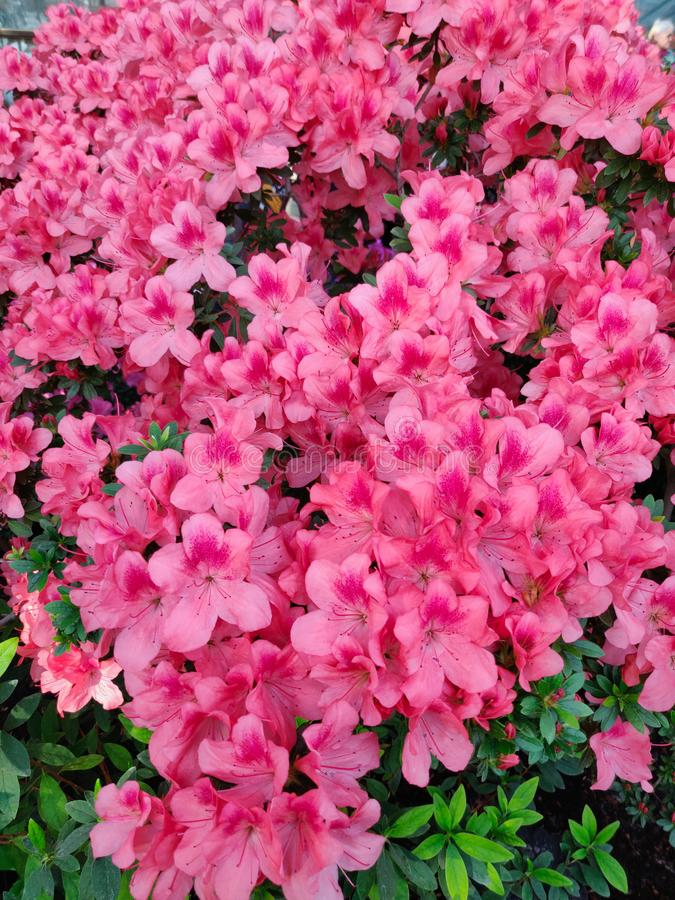 Rose de fleur d'azal?e images libres de droits