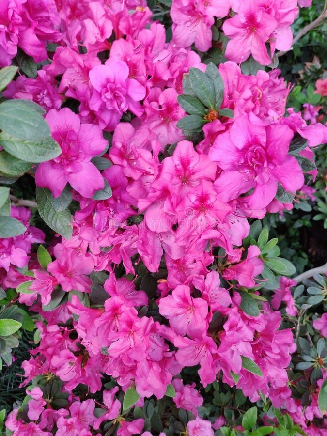 Rose de fleur d'azal?e photo stock