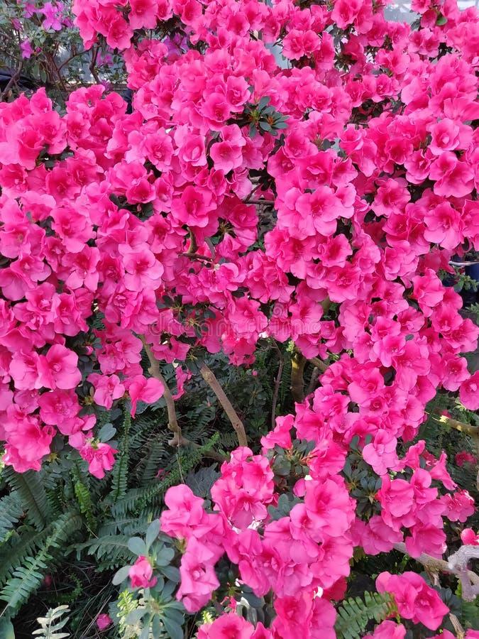 Rose de fleur d'azal?e photos stock