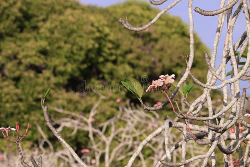Rose de fleur de Plumeria ou arbre de rose de désert bel sur le fond de ciel photo stock