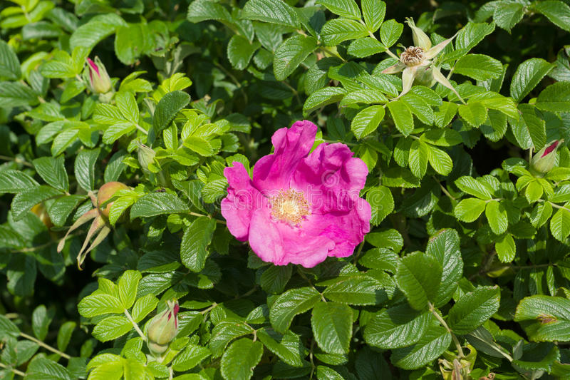 rose de fleur sauvage photo stock