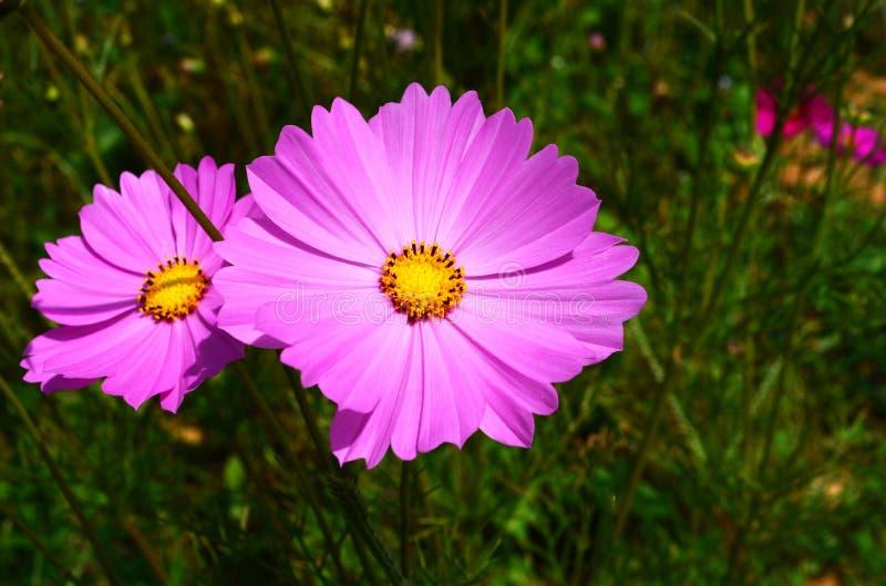Rose de fleurs images libres de droits