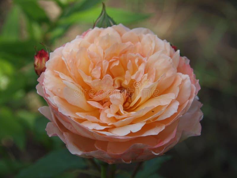 Rose de Gerberoy in volledige bloesem stock afbeelding