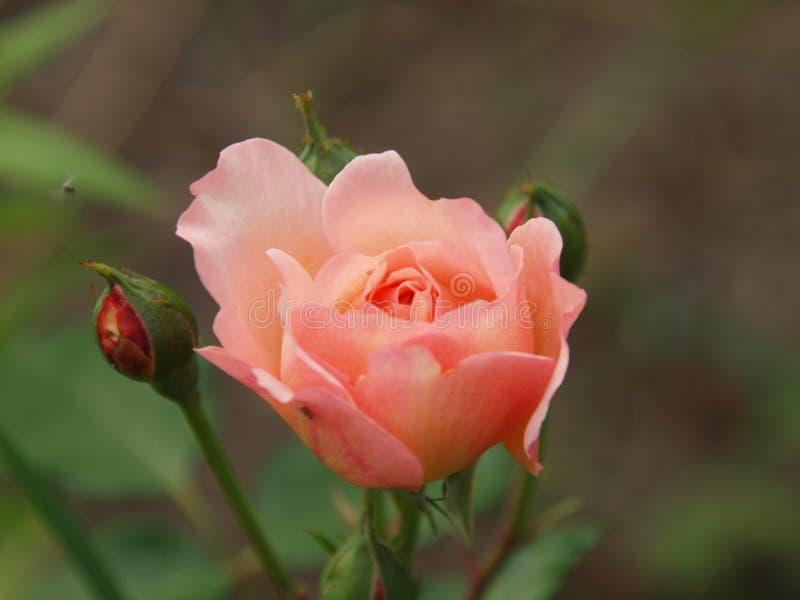 Rose de Gerberua royalty-vrije stock fotografie