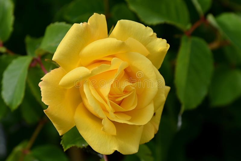 Rose de jaune dans le jardin photos stock