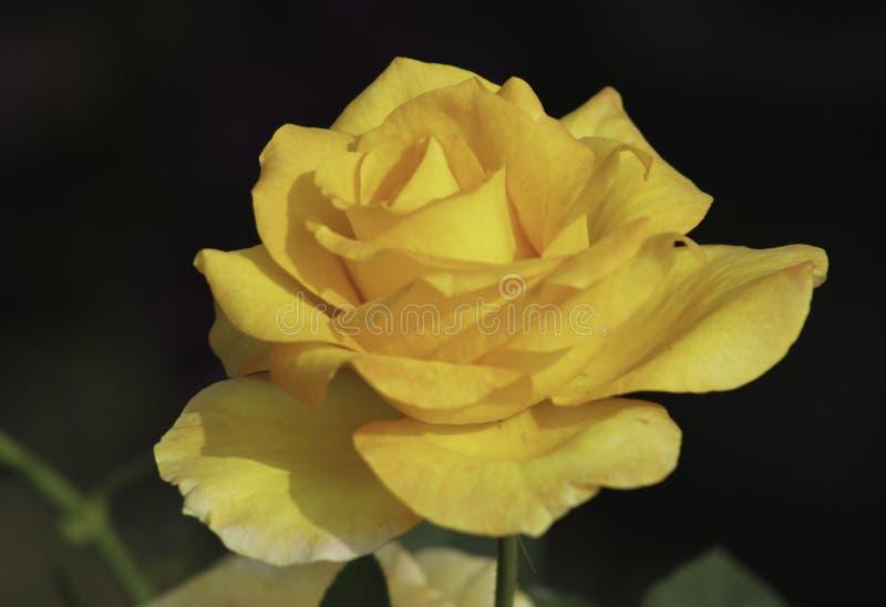 Rose de jaune, fleur photo libre de droits