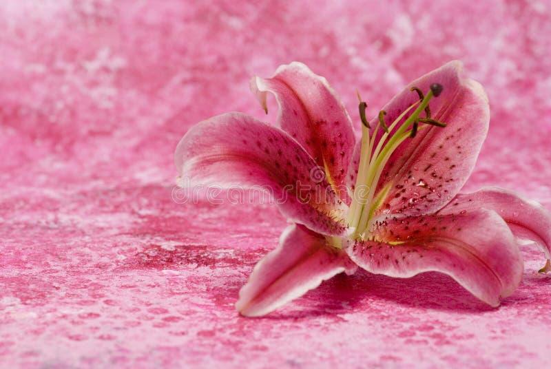 rose de lis images stock