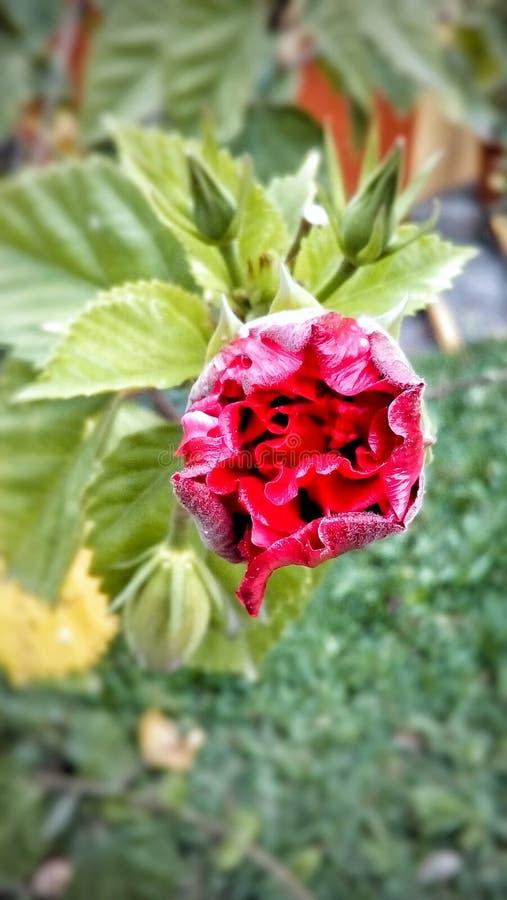 Rose de mon coeur photos libres de droits