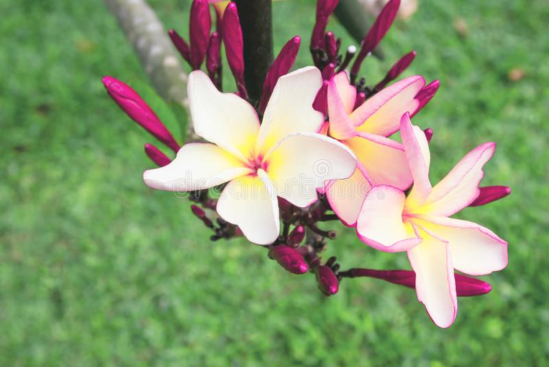Rose de plan rapproché et plumeria jaune dans le jardin photographie stock libre de droits
