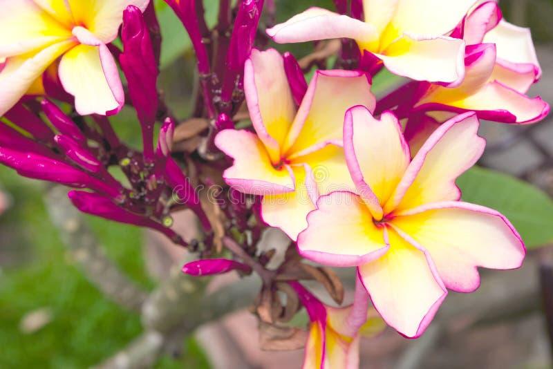 Rose de plan rapproch? et plumeria jaune dans le jardin photos stock