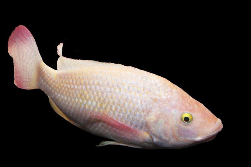 rose de poissons photographie stock libre de droits