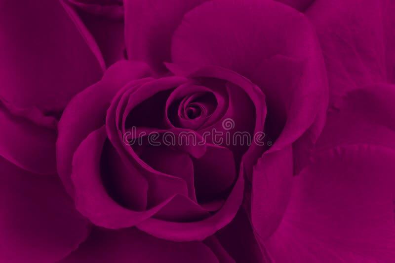 Rose de pourpre image stock