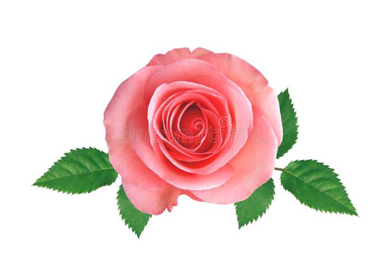 Rose de rose avec des feuilles de vert d'isolement sur le blanc photos libres de droits