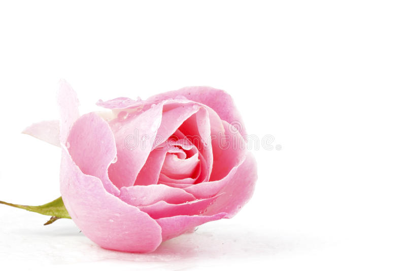 Rose de rose avec des waterdrops photo stock