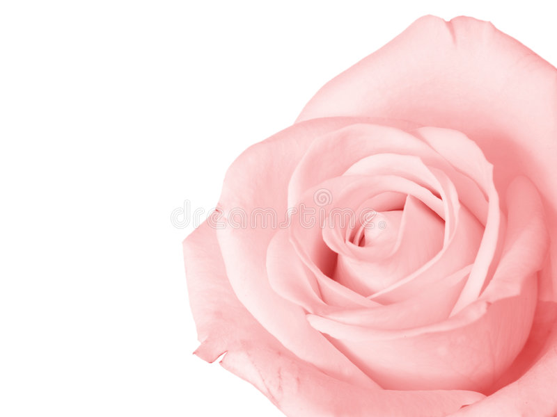 Rose de rose d'isolement photos libres de droits