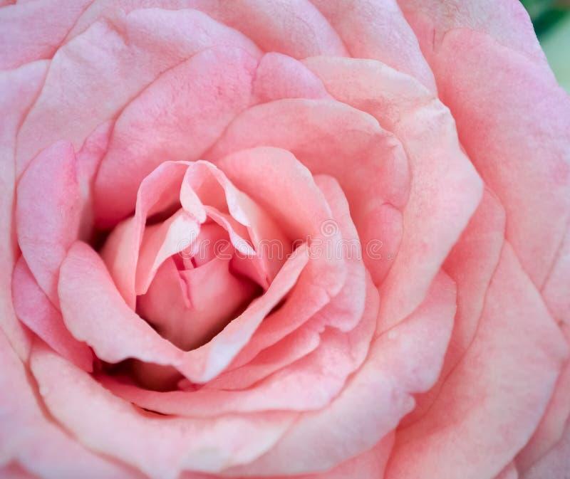 Rose de rose dans la lumière molle images libres de droits