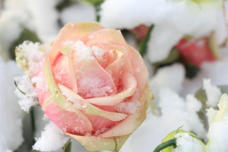 Rose de rose dans la neige photo libre de droits