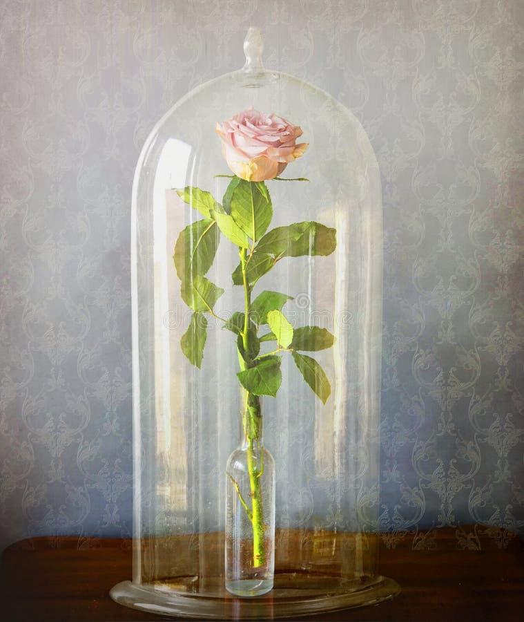 rose de rose sous cloche en verre en verre image stock. Black Bedroom Furniture Sets. Home Design Ideas
