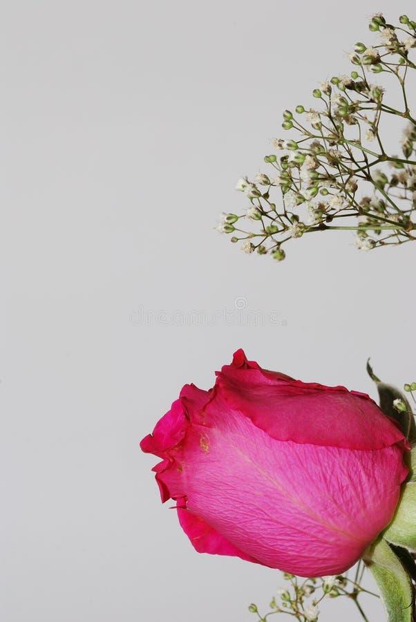 Rose de rose sur le portrait blanc photos libres de droits