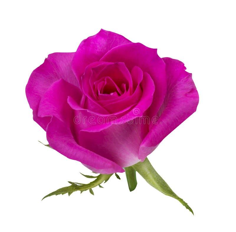 Download Rose De Rose Sur Un Isolat Blanc Image stock - Image du jour, couleur: 76089647