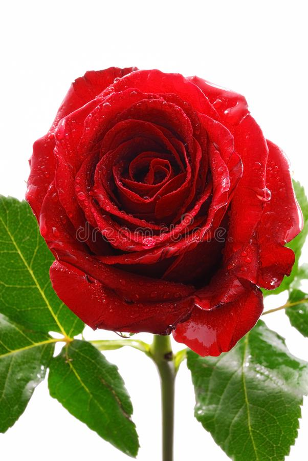 Rose de rouge photo libre de droits