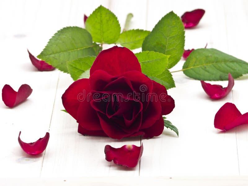Rose de rouge photographie stock libre de droits