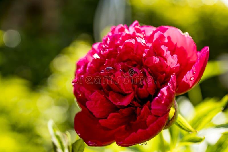 Rose de rouge au soleil photographie stock libre de droits