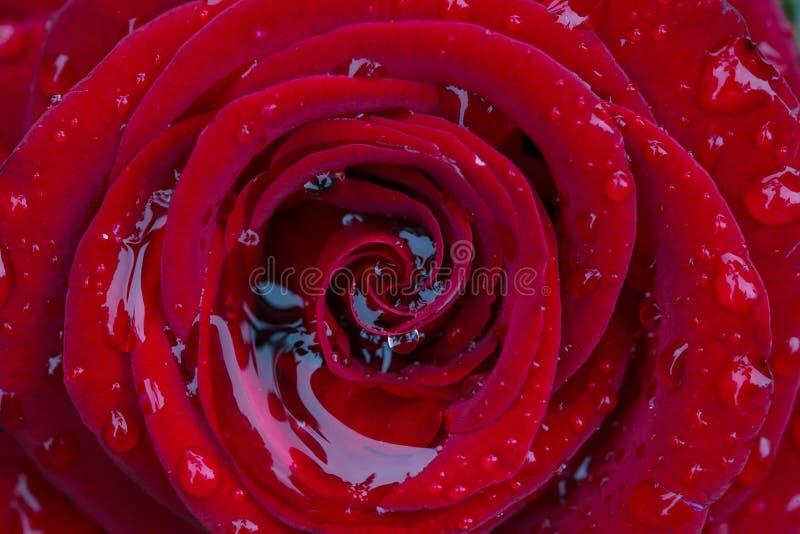 Rose de rouge avec des baisses de pluie là-dessus photos libres de droits