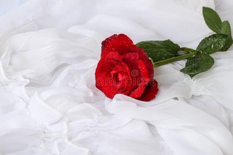 Rose de rouge avec des gouttelettes d'eau - fond blanc photographie stock libre de droits
