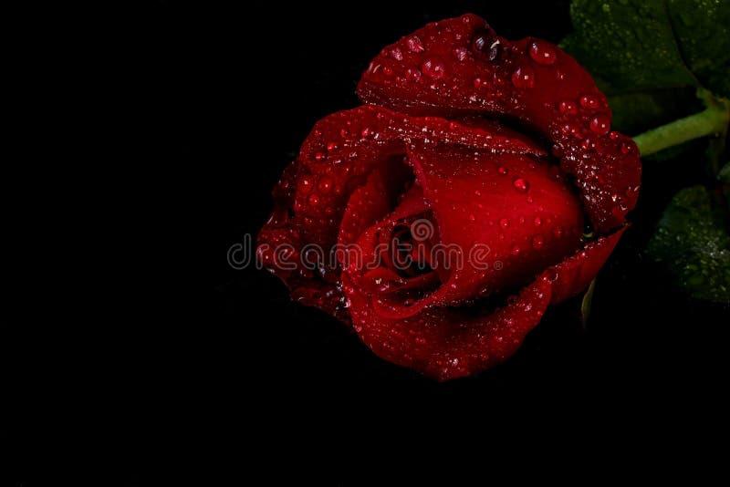 Rose de rouge avec des gouttelettes d'eau - fond noir image libre de droits