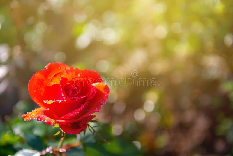 Rose de rouge avec l'éclairage sur le fond brouillé dans le jardin image stock