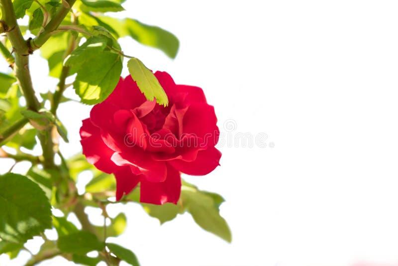 Rose de rouge avec la branche d'isolement sur le fond blanc photographie stock