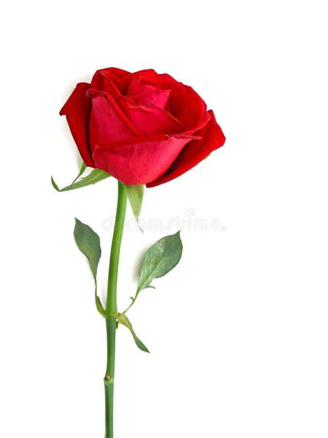 Rose de rouge d'isolement au-dessus du blanc images stock