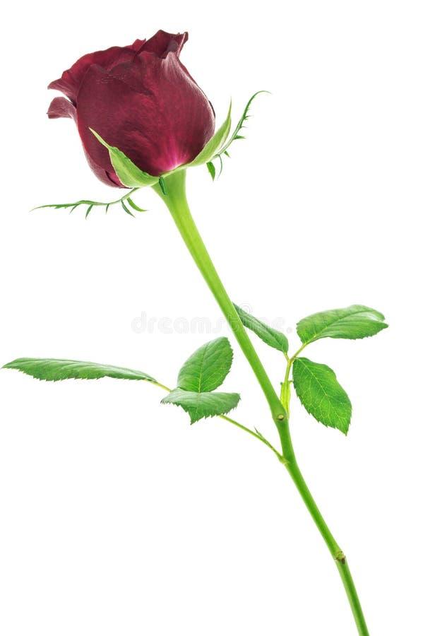Rose de rouge d'isolement sur le fond blanc images libres de droits