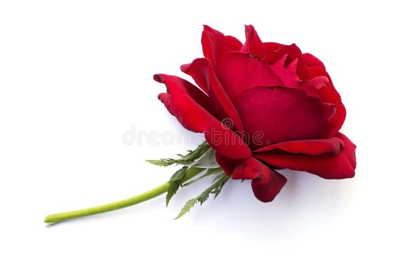 Rose de rouge d'isolement sur le fond blanc photos libres de droits