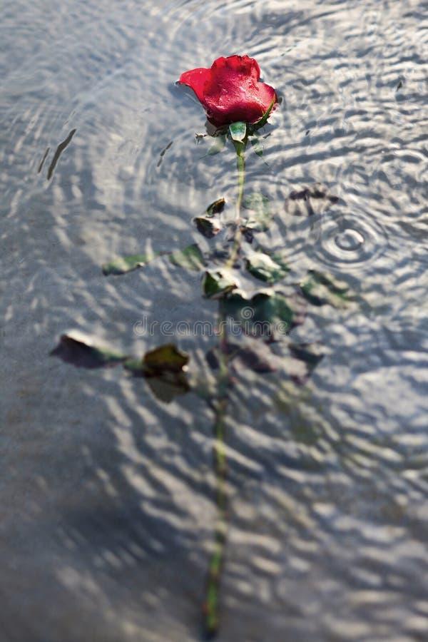 Rose de rouge dans l'eau images libres de droits