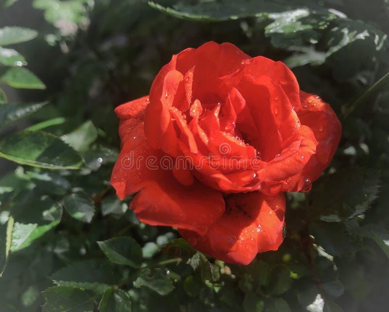 Rose de rouge dans le jardin photographie stock