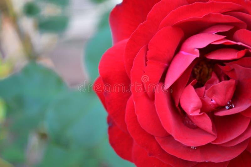 Rose de rouge en pleine floraison image stock